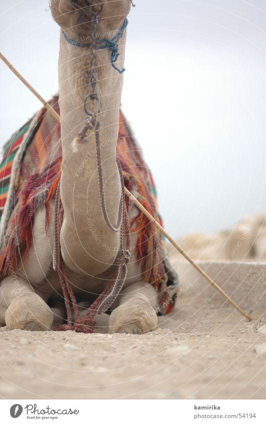 Sand Cloth Desert Dry Africa Neck Rag Equestrian sports Egypt Camel Brand of cigarettes Dromedary