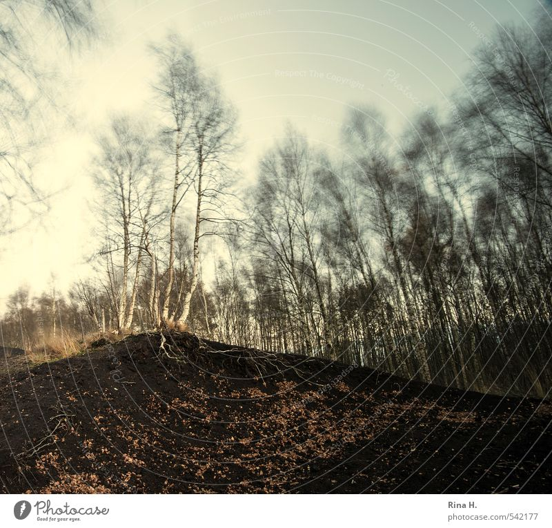 adherence Environment Nature Landscape Autumn Climate Wind Tree Birch tree Hill Bog Movement To hold on Dark Above Peat Root of a tree Leaf Square