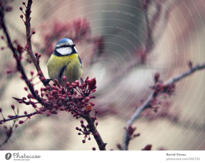 Blue Green Beautiful Animal Bird Above City life Sit Branch Downtown Sing Tit mouse