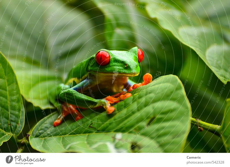 Red eyed tree frog Green Animal Funny Small Wild Sit Wild animal Climate Authentic Wait Fresh Dangerous Wet Happiness Cute Observe