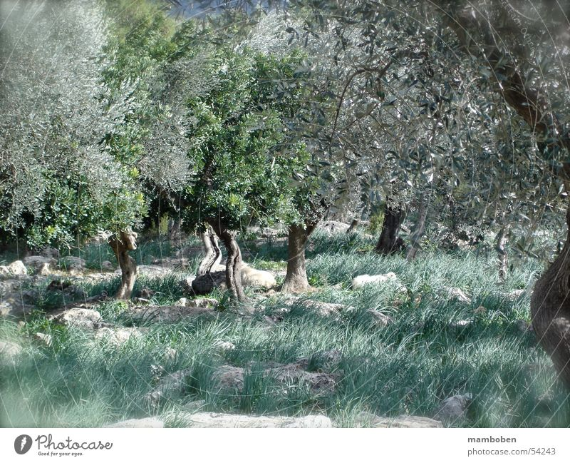 olive grove Olive Clump of trees Majorca Italy Mediterranean Balearic Islands Tuscany Forest Sheep Lamb Nature