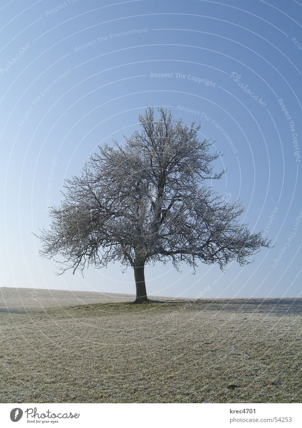 Single tree Tree Meadow Winter Individual Pasture Sky Blue sky Hoar frost Loneliness unattached