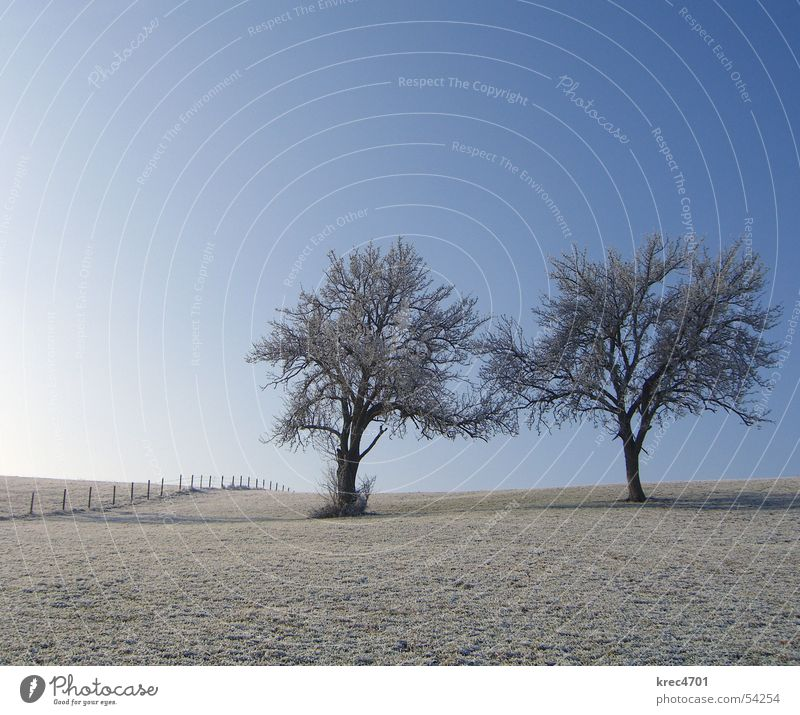Two individuals Tree Meadow Winter Individual Fence Pasture fence Sky Blue sky Hoar frost Loneliness unattached