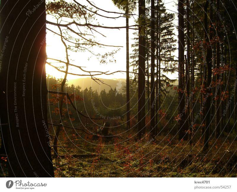 Forest in Backlight II Tree Coniferous forest Eifel Back-light Green Winter Sun in the country