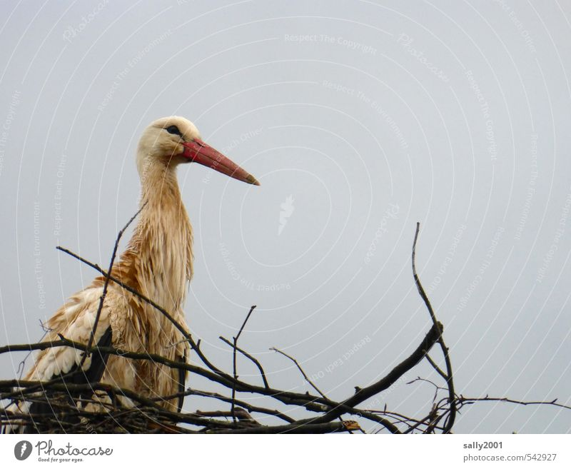 Am I not beautiful? Clouds Bad weather Animal Wild animal Bird Stork 1 Build Observe Looking Sit Wait Wet Nature Beautiful Nest Nest-building Eyrie