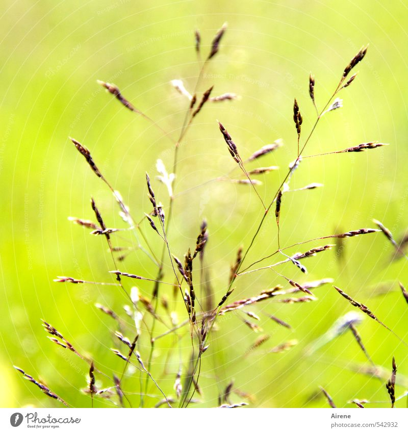 Lights Moment Nature Plant Grass Crops Grain Ear of corn Meadow Field Illuminate Simple Brown Gold Green Happy Delicate Light green Graceful Bright Bright green