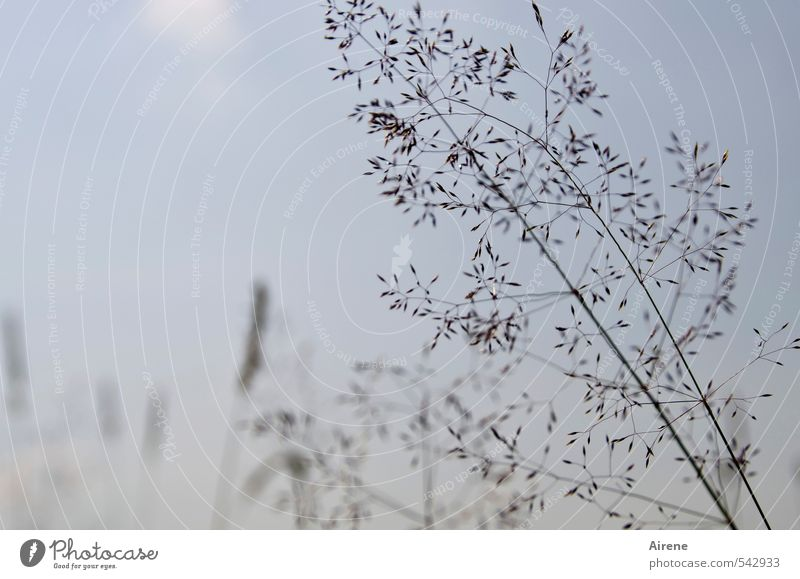 nothing but grasses Nature Plant Sky Beautiful weather Grass Meadow Field Movement Thin Simple Blue Brown Contentment Modest Graceful Fragile Delicate Summery