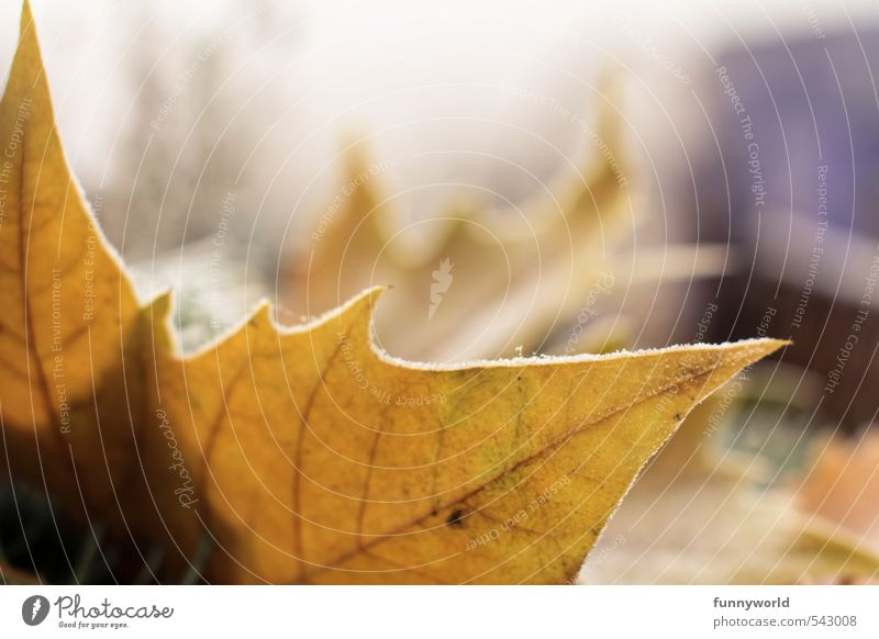 Autumn - no, already winter! Ice Frost Leaf Esthetic Cold Point Pain Longing Loneliness Winter Frostwork Limp Autumn leaves Colour photo Exterior shot Detail
