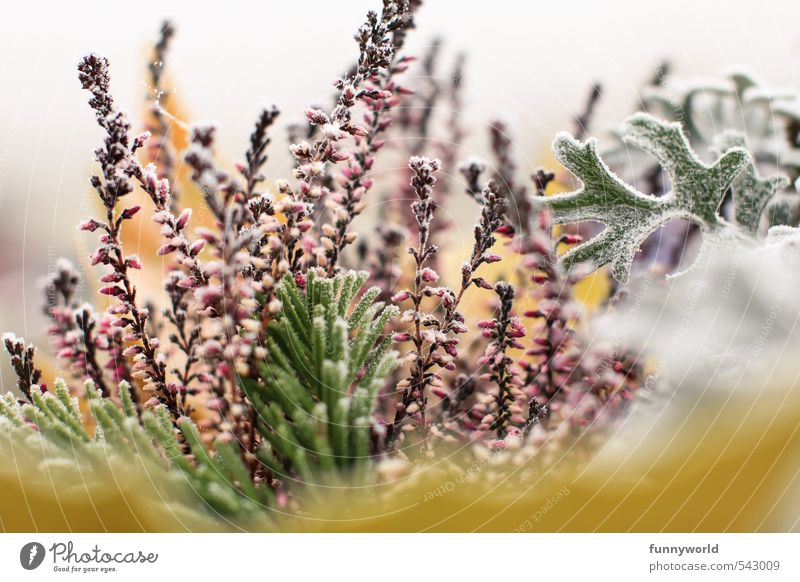 hoarfrost Environment Nature Plant Autumn Winter Ice Frost Snow Leaf Foliage plant Freeze Cold Ledger Hoar frost Winter activities To hibernate Colour photo