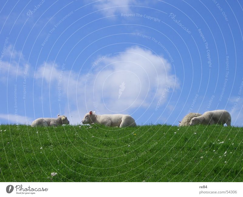Lazing around as a group constraint in sheep - Part II Netherlands Ocean Clouds Lake Relaxation Calm Gale Green White Red Rügen Sylt Norderney Langeoog Meadow