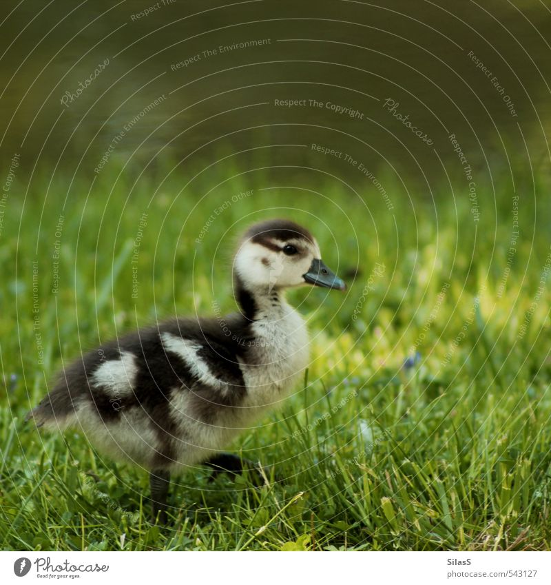 Nature Green Water Animal Yellow Baby animal Grass Gray Brown Park Cute River bank Duck