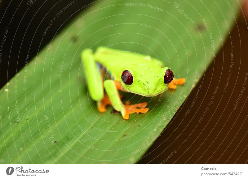 Red eyed tree frog Nature Vacation & Travel Green Colour Relaxation Leaf Animal Yellow Environment Small Wild Wild animal Dangerous Adventure Friendliness
