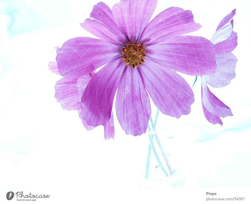summer longing Colour photo Interior shot Neutral Background Summer Flower Blossom Decoration Blossoming Violet Vase Cosmos flowers