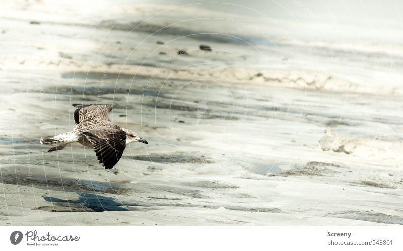 Low-flying ahoy! Nature Plant Sand Summer Coast Beach North Sea Island Norderney Animal Wild animal Bird Wing seagull 1 Bravery Power Esthetic Colour photo