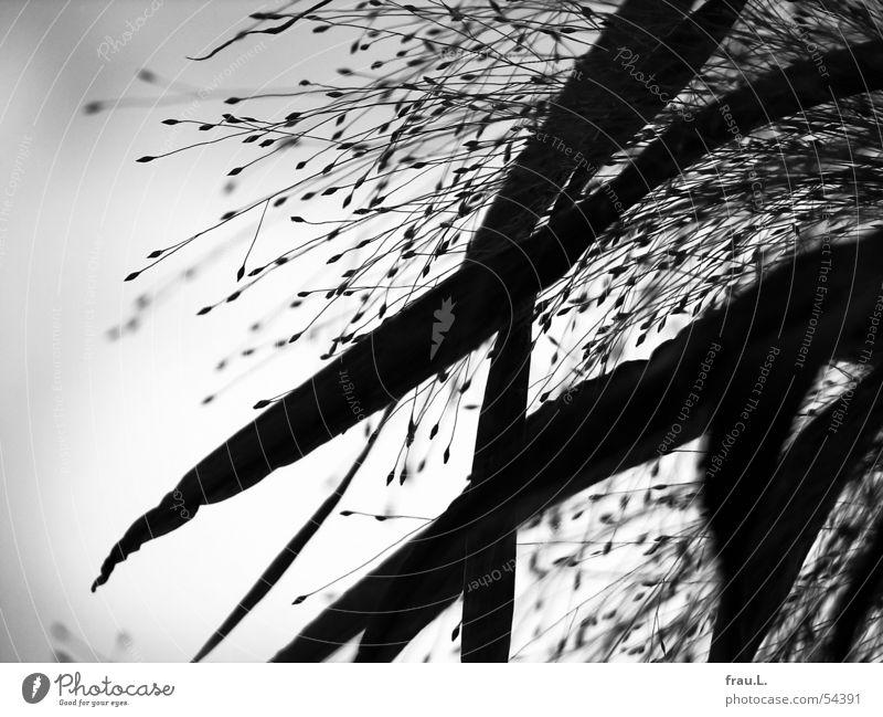 black grasses Grass Leaf Back-light Delicate Force Gray Black Black & white photo Nature Sky