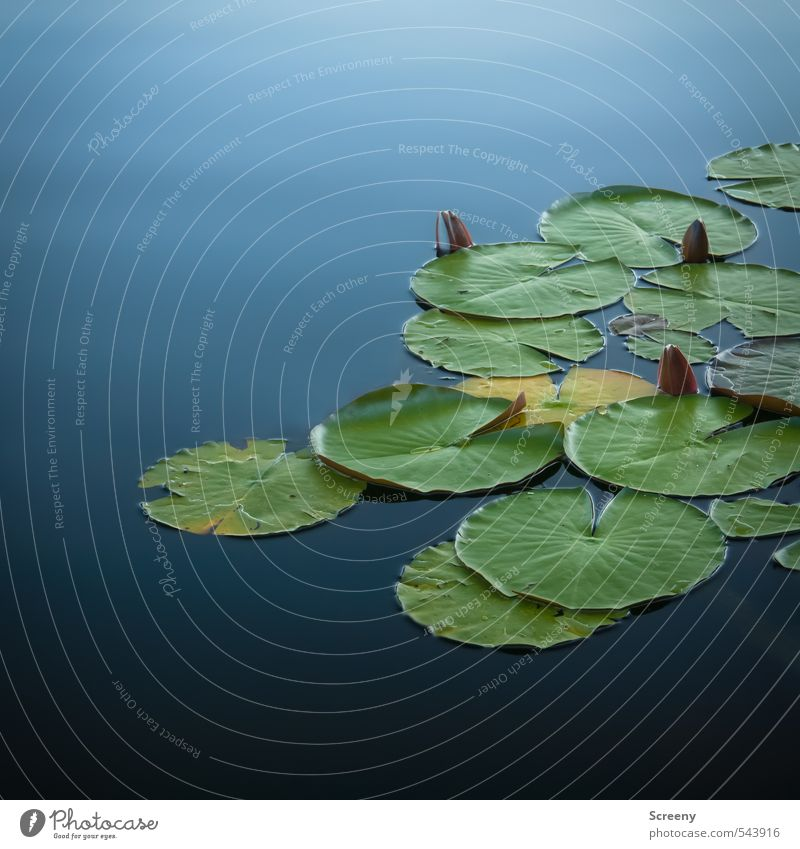 You're still asleep... Nature Plant Water Aquatic plant Water lily Pond Lake Calm Poverty Colour photo Exterior shot Deserted Copy Space top Copy Space bottom