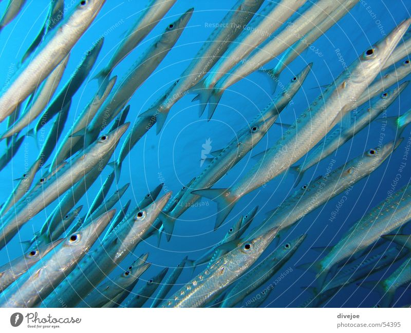 Blue Ocean Fish Dive Flock Turquoise Air bubble Coral Shoal of fish Red Sea Barracuda