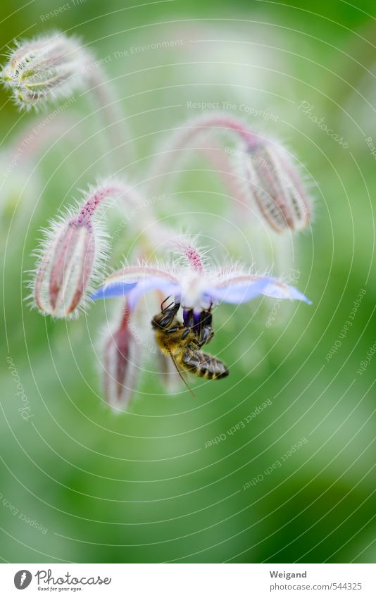 "Bee and flower Environment Nature Plant Flower Blossom Foliage plant Touch Movement Blue Green ""Bee,"" country lust Country life Field Borage Honey Honey bee"