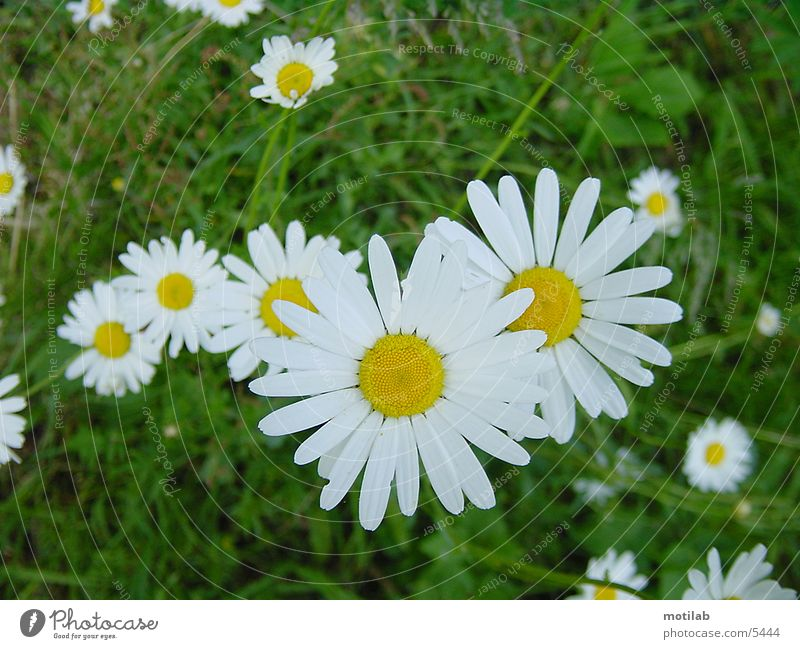 Flower Meadow Daisy Meadow flower