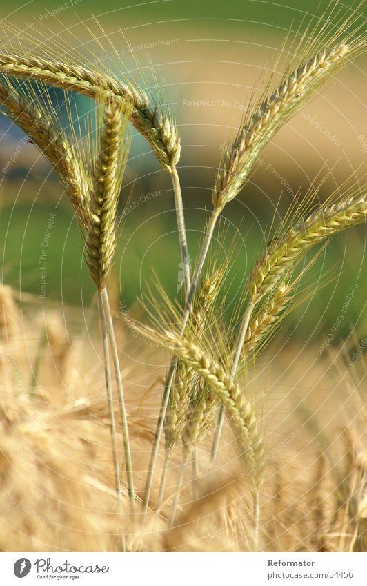 rye field Rye Nature