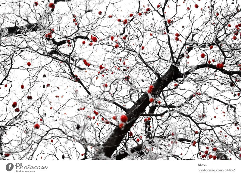 White Tree Red Black Rope Frost Branch Point Patch Treetop Berries Cherry Interlaced Rawanberry