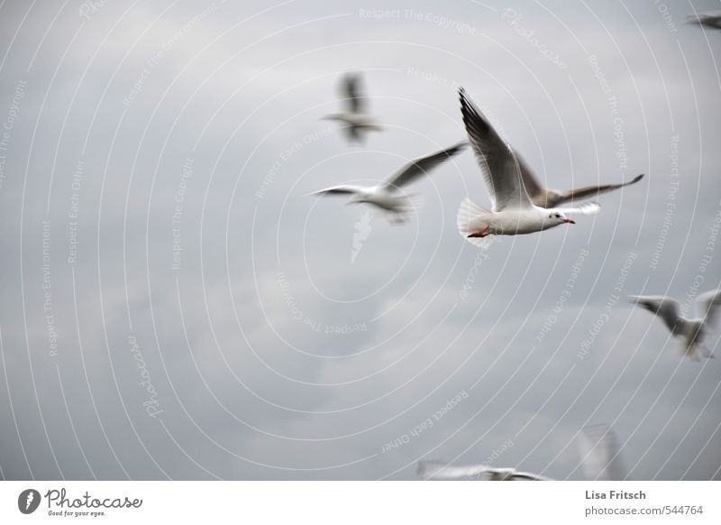 fly Animal Bird Seagull Group of animals Clouds Wind Flying Free Beautiful Colour photo Exterior shot Animal portrait