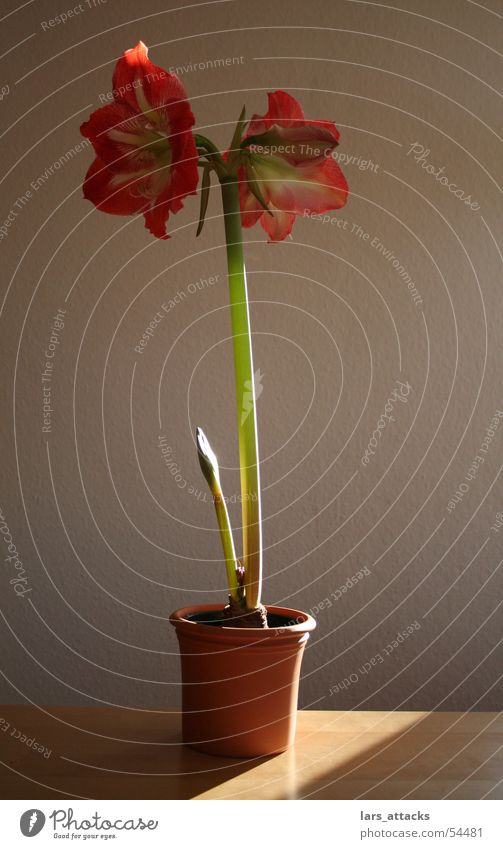 Riierstern in the spotlight Amaryllis Plant Blossom Red Pink Light Beautiful Winter flower Power Lamp Sun Nature indoor plant