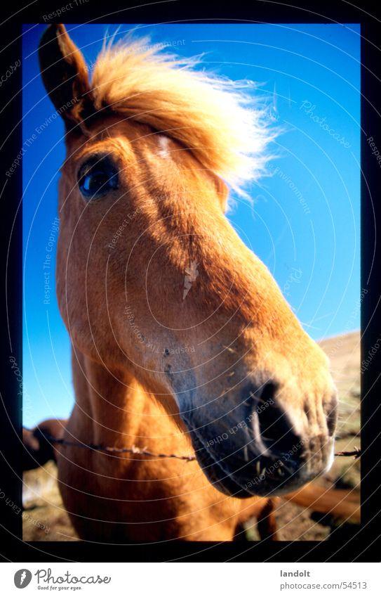 Animal Horse Farm Iceland