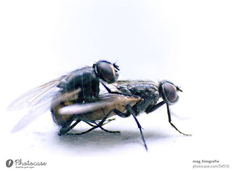 fly pairing Propagation Macro (Extreme close-up) Insect Animal Fly Flying