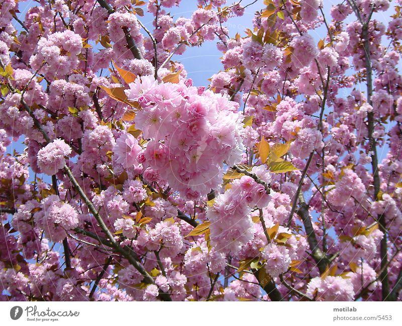 florid Blossom Spring Jump Blossoming