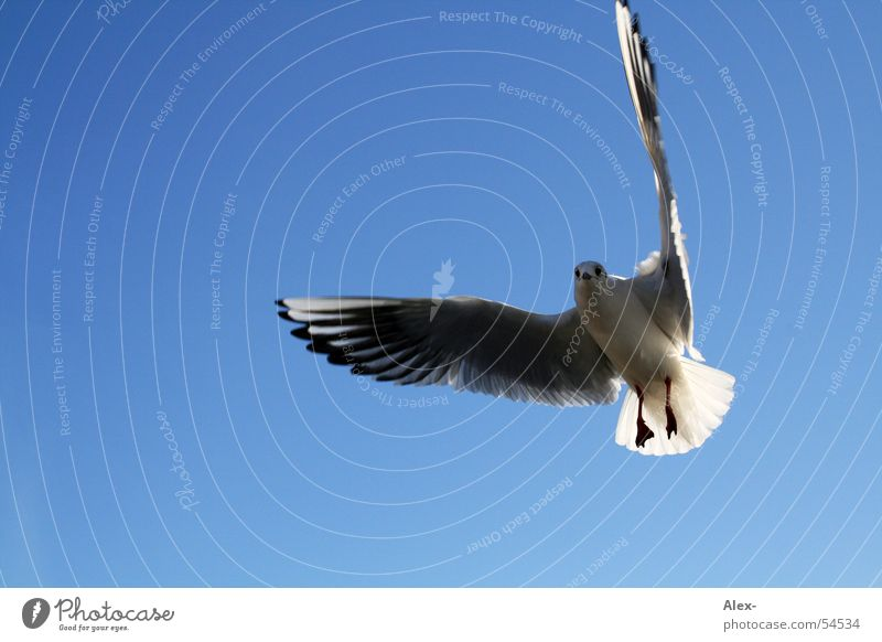 Sky Blue Freedom Air Bird Flying Free Aviation Sailing Seagull