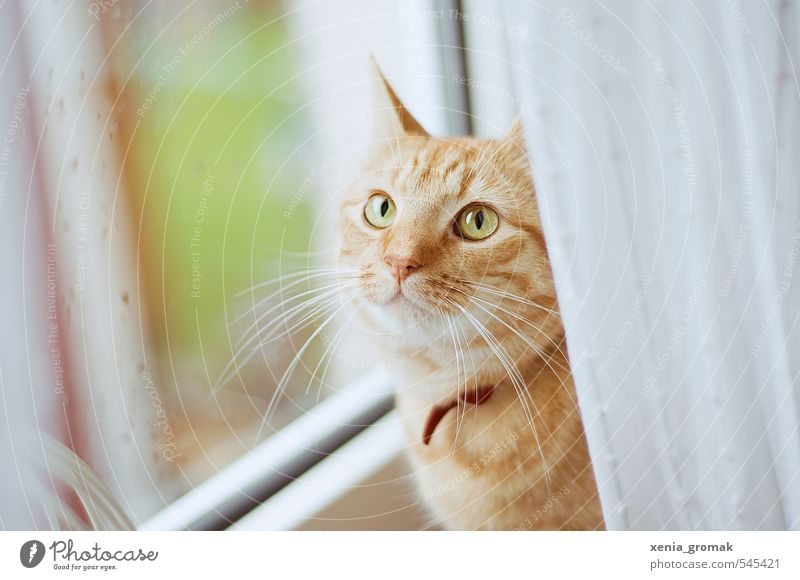 Red cat Animal Pet Cat Animal face 1 Drop Love of animals Calm Idyll hangover kitten Window pane raindrops at home Domestic cat Cat eyes Colour photo