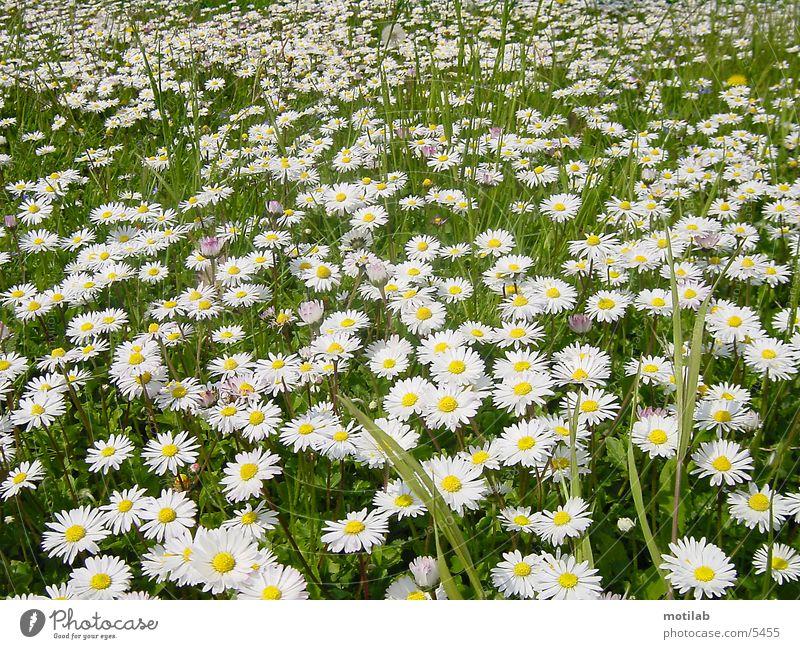 margarite meadow Daisy Meadow Spring Margarites