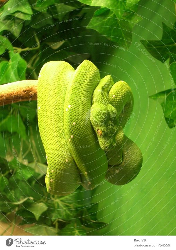 green mamba Green Yellow Poison Green mamba Zoo Augsburg Animal Reptiles Disgust Beautiful snake Fear