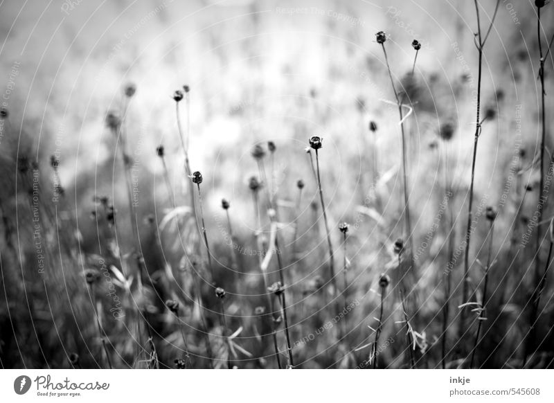 The onset of winter Nature Plant Autumn Winter Climate Drought Flower Flower stem Branch Garden Park Faded To dry up Dark Thin Cold Long Natural Gloomy Dry Gray
