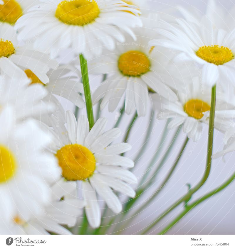 summer flower Summer Flower Blossom Blossoming Fragrance Yellow White Marguerite Bouquet Growth Summerflower Flower meadow Colour photo Multicoloured Close-up