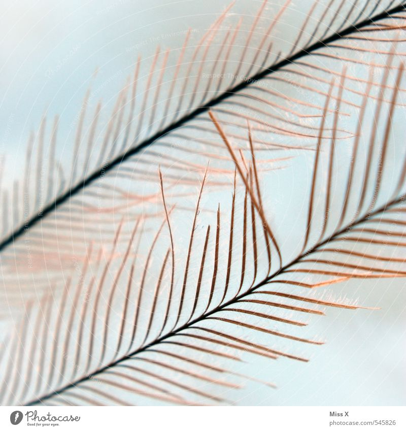 as light as a feather Bird Soft Feather Downy feather Fuzz Easy Delicate Peacock feather Colour photo Exterior shot Close-up Macro (Extreme close-up) Pattern
