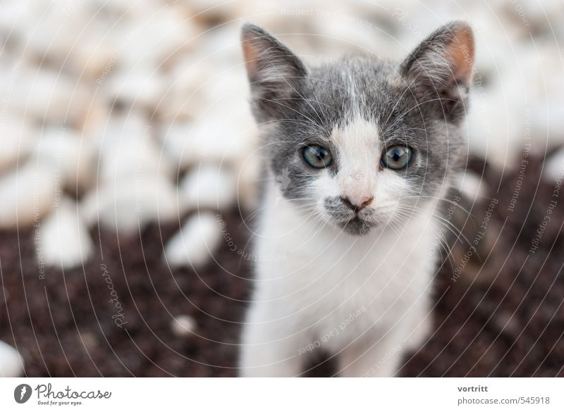 Cat Child Beautiful White Animal Gray Brown Cute Pet
