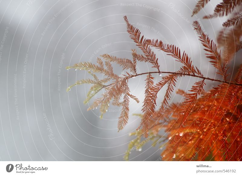 Nature Plant Red Autumn Gray Exceptional Rain Orange Drops of water Twig Autumnal Delicate Autumnal colours Coniferous trees Cypress Dripping