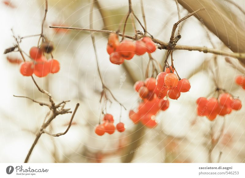 contentment Nature Plant Autumn Beautiful weather Bushes Wild plant Berries Simple Exotic Friendliness Funny Natural Round Brown Orange Contentment Optimism