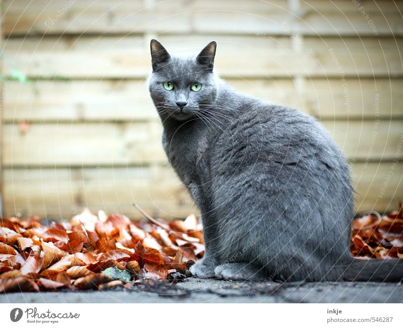 day release Autumn Autumn leaves Leaf Garden Deserted Wall (barrier) Wall (building) Panels Pet Cat Domestic cat British Shorthair 1 Animal Crouch Looking Sit