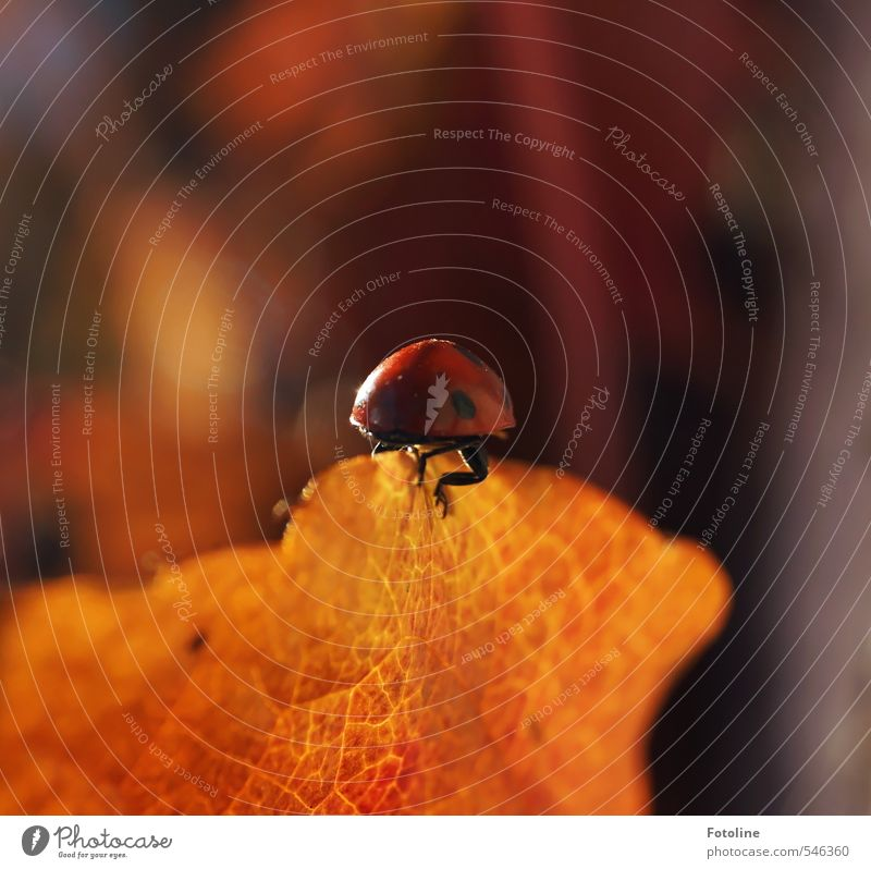 Happy Birthday Photocase. Good luck. Environment Nature Plant Animal Autumn Leaf Beetle Bright Small Near Natural Red Black Autumn leaves Crawl Ladybird