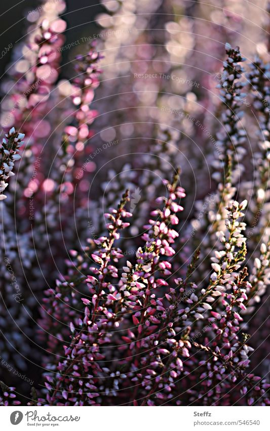 Nature Plant Beautiful Moody Pink Glittering Bushes Happiness Blossoming Violet Visual spectacle Heathland Glare effect Illuminating Lighting effect Emotions