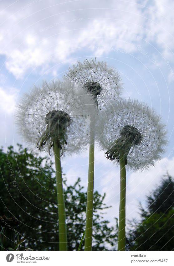 3 puff flowers Dandelion Flower