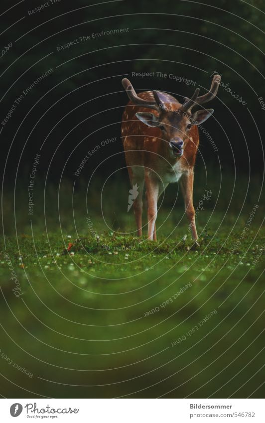 no need to hide, my deer Nature Plant Animal Spring Meadow Field Forest Wild animal Zoo Deer Fallow deer 1 Observe Discover To feed Looking Stand Curiosity