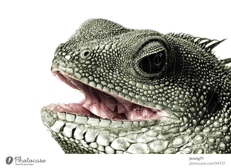 Eyes Animal Set of teeth Barn Bite Muzzle Reptiles Saurians Lizards Agamidae Water dragon