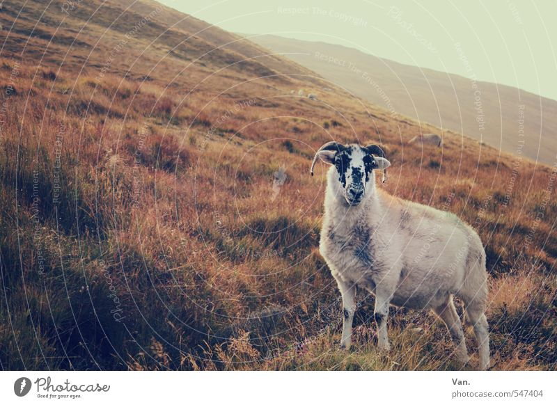 Sky Nature Plant Red Landscape Animal Warmth Autumn Grass Bushes Hill Sheep Farm animal