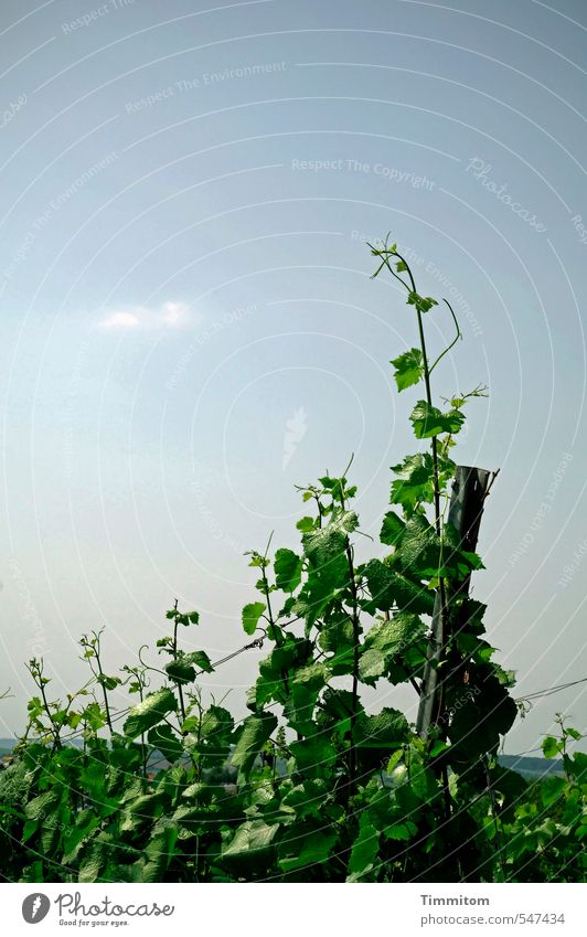 Trash! 2015 Swabian wine. Environment Nature Plant Sky Summer Beautiful weather Vineyard Wire Metal Growth Natural Blue Green Colour photo Vine leaf