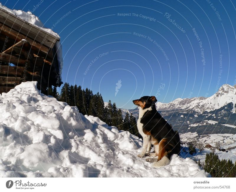 Sky White Tree Sun Green Blue Winter Snow Mountain Wood Gray Dog Brown Hut Mammal Tails