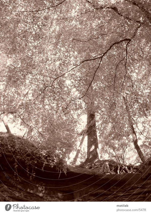 dreamed Tree Leaf Sun Idyll